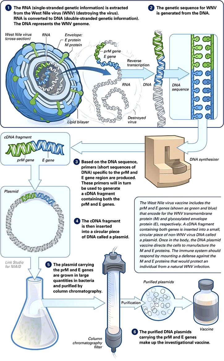Influenza Virus Diagram La Agenda de Vacunaci&...